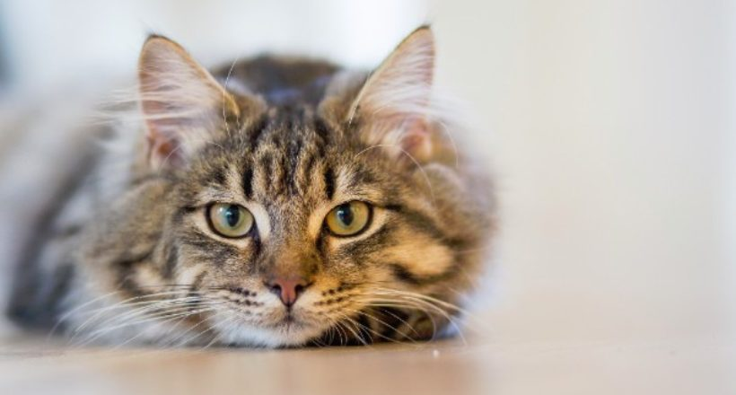 A short view on some infectious cat diseases