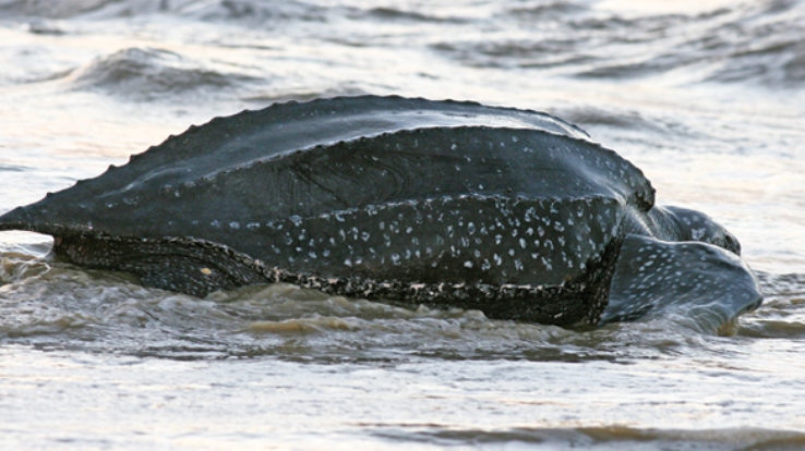 Feature Article: Where have all the Leatherbacks Gone