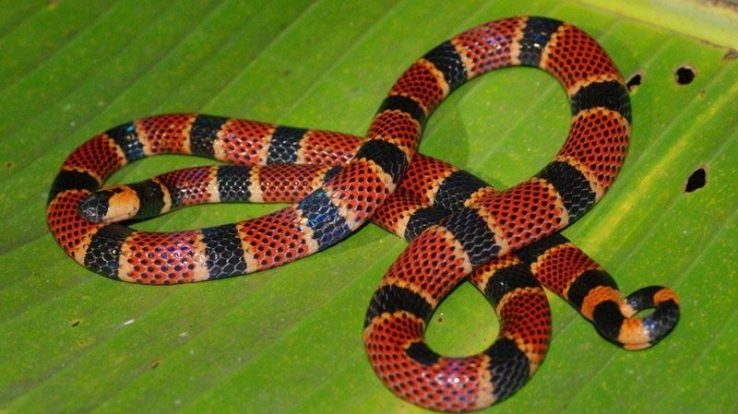 Creature Feature – The Costa Rican Coral Snakes