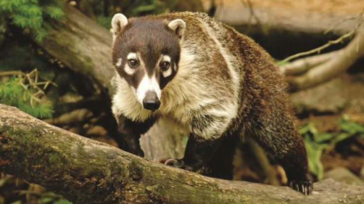 Creature Feature – Coati