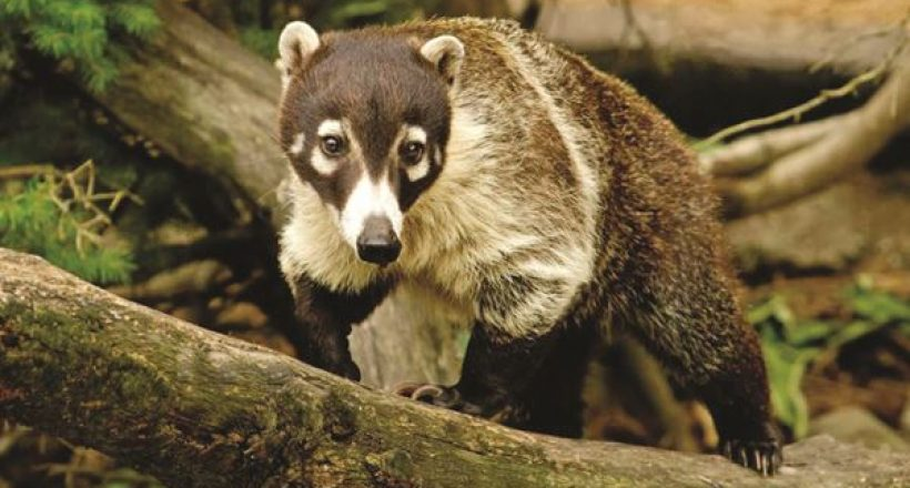 Creature Feature – Coati