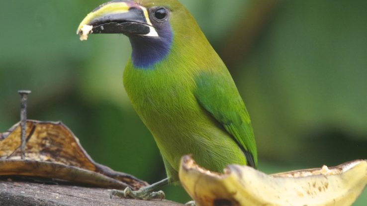 Creature Feature – Toucan Species