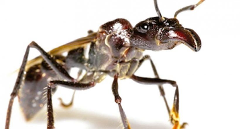 Creature Feature – Bullet Ants, Pain You Don't Want to Feel