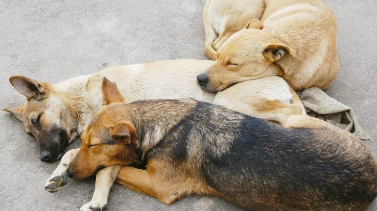 Pet Care – Transmissible Venereal Tumors