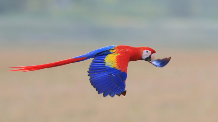Scarlet Macaws Return to the Guanacaste